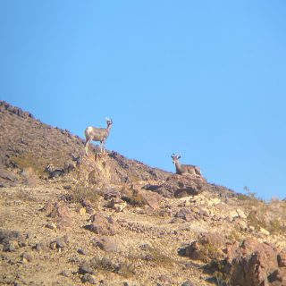 First bighorn sheep of the season!!#maxtourvegas #lasvegas #explorenevada #lakemead #lakemeadnra