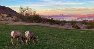 Bighorn Sheep overlooking Lake Mead. This is a stop some of you may remember from your tour. While not listed on the itinerary, many of our tour guides will add bonus stops like this to their tours. Bonus stops are a fun way for our guides to show off their knowledge of the area and do some exploring!.....#maxtourvegas #lakemead #nevada #hemenwaypark #travelnevada #lasvegastrip2020✈️